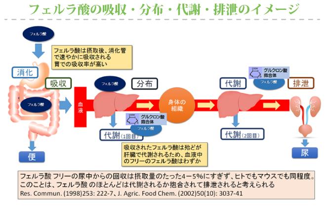 フェルラ酸の吸収・分布・代謝・排泄のイメージ